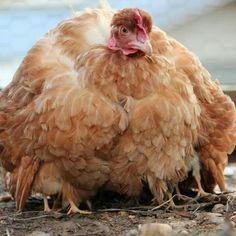 Turken (Naked Neck) Momma Hen