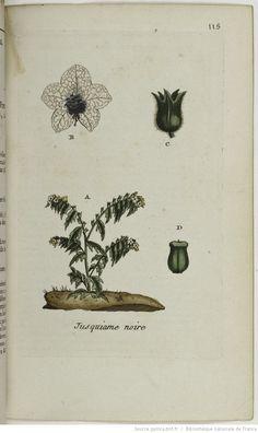 HYOSCIAMUS - Hyosciamus niger. La hannebane / La potelée / L'herbe aux engelures / La careillade