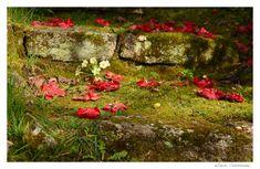🌸🌺 Fleurs de Camélia