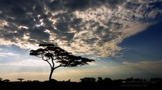 acacia tree   - Explore the World with Travel Nerd Nici, one Country at a Time. http://travelnerdnici.com