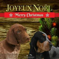 Joyeuses Fêtes à tous 🎁🎄  #merrychritmas #joyeuxnoel #bbg #bassetbleudegascogne #gsp #deutschkurzhaar #germanshorthairedpointer #puppy #cute #feliznavidad #buonnatale #froheweihnachten #dog #chien #hund #cani #pet #chasse #hunting #jagd #dogpics #christmas #weihnachten #navidad #gundog #joyeusesfetes