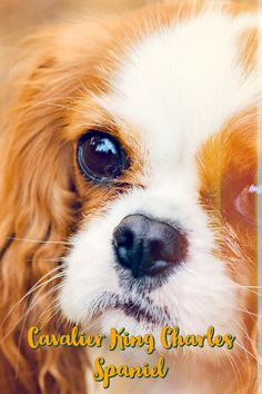 """The Cavalier King Charles Spaniel is little, caring and playful. The normal Cavalier is constantly pleased, trusting and relaxed, a good friend to everyone he meets. True to their heritage as """"comforter canines,"""" Cavaliers enjoy to be in a lap. Fido Providing You With Trouble? The Following Tips Might Help! Your puppy might be hyperactive, shy or maybe a bit rebellious. Whatever his personality, your furry friend needs guidance to be the better dog they can be. A training routine wil"""