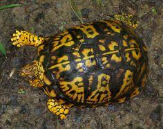 What do tortoises eat? Cute Tortoise, Tortoise Habitat, Tortoise Turtle, Aquatic Turtle Habitat, Aquatic Turtles, Pet Turtle, Turtle Love, Turtle Enclosure, Tortoise Enclosure