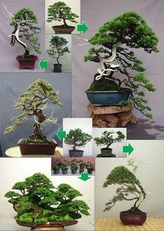 Image detail for -Bonsai Trees: Time to Evolve Gardening Strategies | Bonsai Trees 101 Terrarium Plants, Bonsai Plants, Bonsai Garden, Garden Plants, House Plants, Bonsai Trees, Indoor Bonsai Tree, Mini Bonsai, Bonsai Art