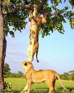 Lion solidarity.... - via Earth's photo on Google+