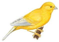 canary bird - Google Search