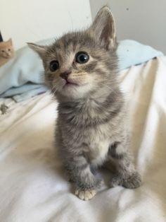 Half Bobcat Half Domestic Cat For Sale In Nc House Cat Nurses Orphaned Bobcat Kittens Love