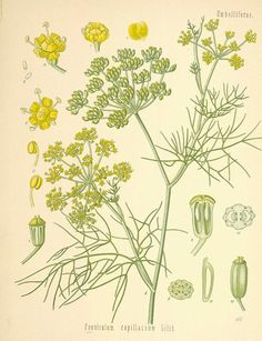 """Fennel < One of my favorite herbals and resides in my herbal library is """"A Modern Herbal"""" (2 volumes) by Mrs. Maude Grieve #herbs"""