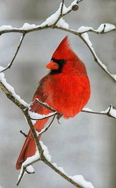 Cardinal in the Snow Amazing World #cute #sweet #birds