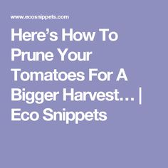 Here's How To Prune Your Tomatoes For A Bigger Harvest… | Eco Snippets