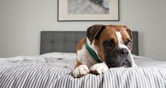 Whether you work outside the home or not there are times when your best buddy will need to be home alone: How to Teach Your Dog to Stay Home Alone?