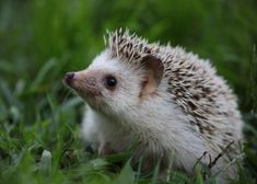 15 exotic pets legal in the us Pygmy Hedgehog, Baby Hedgehog, Baby Animals Pictures, Cute Animal Pictures, Cute Little Animals, Cute Funny Animals, Pet Rocks, Felt Animals, Animal Drawings