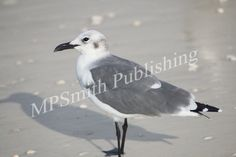 Gull - https://melaniepsmith.com/downloads/gull/ - Gull | Sarasota, Florida 2015  Purchased photo will not contain watermark. You are purchasing a standard license Click Here for license details.  You may use this image in accordance with the license agreement in such things as web blogs, magazines, book covers, web design, etc.   - https://melaniepsmith.com/wp-content/uploads/edd/2016/04/Gull-945x630.jpg