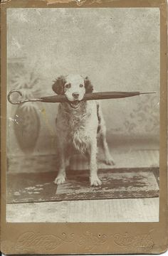 Cabinet card of standing brown and white dog holding an umbrella in his mouth. Photo taken in Oneonta, N.Y. From bendale collection