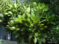 Puka Plant, I love the berries and leaves