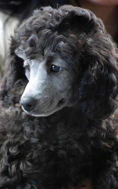Silver Poodle Puppy (by amirpaz on Flickr)