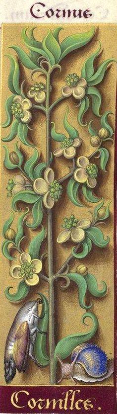 Cornilles - Cornus (Cornus mas L. = fleurs de cornouiller) -- Grandes Heures d'Anne de Bretagne, BNF, Ms Latin 9474, 1503-1508, f°224r