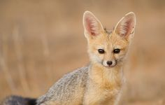 Cape Fox by Morkel Erasmus