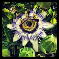 This is a Passionfruit flower. Crazy almost outerspace-like. #flowers #peru #passionfruit