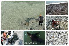 ΜΑΖΙΚΟΣ ΘΑΝΑΤΟΣ: Εκατομμύρια νεκρά ψάρια σ' όλο τον πλανήτη σε ένα μήνα!