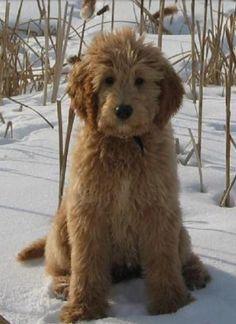 Goldendoodle, Groodle, Retrodoodle dog, Poodle Hybrid, Poodle Mix, Doodle, Oodle, Puppy pinned by myoodle.com