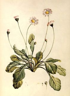 Daisy (Bellis perennis). J. J. Rousseau, La Botanique, 1805.  Alice M. Coats, The Book of Flowers (London: Chancellor Press, 1984)