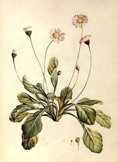 Daisy (Bellis perennis). J. J. Rousseau, La Botanique, 1805.  Alice M. Coats, The Book of Flowers (London: Chancellor Press, 1984)