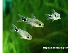 Dwarf cories as betta tank mates. 4+ is recommended, can have up to 7 in a 6-gallon tank