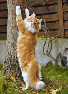 WOW! red tabby blotched with white color Norwegian Forest Cat