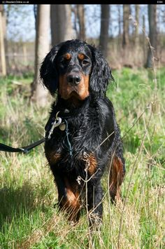 Gordon Setter Puppy For Sale Pictures