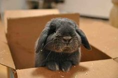 Crazy bunny lady, Bunny quotes, Cute baby animals, Rabbit, Bunny lady, Bunny - When you're this adorable you can sneak past the band's security detail truestory - #Crazybunny #lady Funny Bunnies, Cute Bunny, Bunny Bunny, Grey Bunny, Bunny Face, Box Bunny, Fluffy Bunny, Cute Baby Animals, Animals And Pets