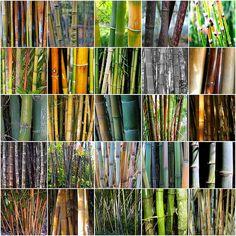 Tipos de bambu