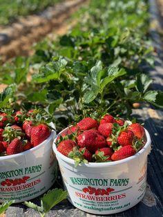 strawberry picking, washington farms, washington farms loganville, washington farms watkinsville, georgia strawberries,