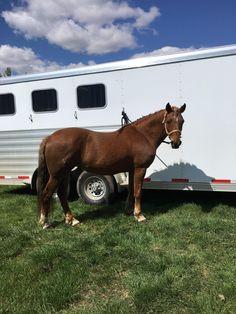 Morgan Mare Noble-T Rockelle www.coyoteflatranch.com Saskatchewan Canada, Morgan Horse, All About Horses, Dressage, Beautiful Horses, Westerns, Ranch, Flat, Animals