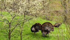 Spring Toms In Blooms ~ Turkey's strutting through fresh grass beneath plum blossoms during spring mating season in Wisconsin.