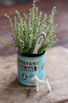 Thyme growing in a vintage tin