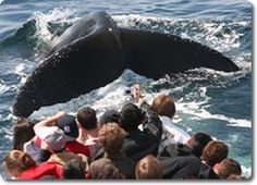 Cape Cod Whale Watching, Dolphin Fleet of Provincetown MA, Best in New England - Trips depart daily.  http://www.whalewatch.com/  A valued member of the Yarmouth Chamber of Commerce www.yarmouthcapec...