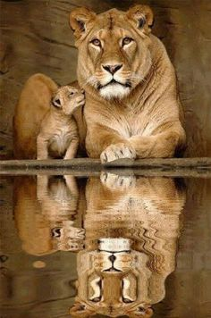 Lioness with cub with their reflections in the water.