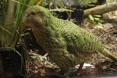 Sirocco the Kakapo wings his way to Parliament   NZNews   3 News
