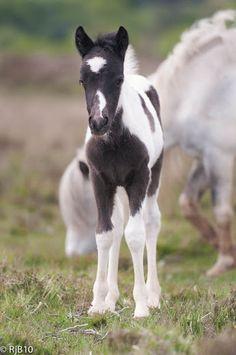 Foals - New Forest Foal. Cute little fuzzy baby horse! Cute Baby Horses, Pretty Horses, Horse Love, Beautiful Horses, Cute Baby Animals, Animals Beautiful, Animals And Pets, Horses And Dogs, Wild Horses