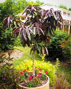 Plantfiles Picture 7 Of Dwarf Peach Bonfire Prunus Persica Container Plants, Container Gardening, Summer Flowers, Pink Flowers, Front Flower Beds, Trees Online, Peach Trees, Foliage Plants, Prunus