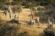 Giraffe family next to Omaanda Giraffe Family, All Inclusive Packages, Hotels, Treatment Rooms, Savannah Chat, Safari, Asia, Flat Irons, Adventure