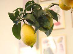 Citroen Plant, Vegetable Garden, Garden Plants, Lemon Plant, House In Nature, Growing Vegetables, Life Is Good, Flora, Seeds