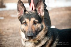 Denver pet photography, german shepherd, Colorado Pet photography, Jenna Noelle Photography