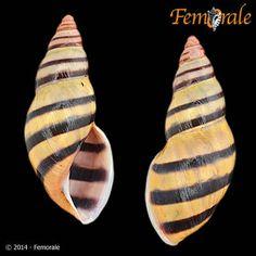 Drymaeus murrinus (Reeve, 1848) - Femorale Store