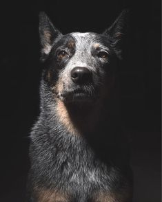 Loyal blue heeler
