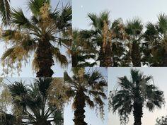 Yo me lo guiso.: Paseo del Grao, las palmeras se engalanan cada verano Plants, September 11, Crock Pot, Hobbies, Palm Trees, Walks, Souvenirs, Summer Time, Places