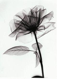 цветок рентген