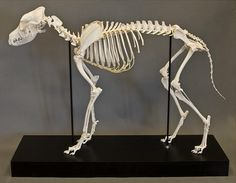 articulated dog skeleton from skulls unlimited... this is what bailey and guinness will be after they die