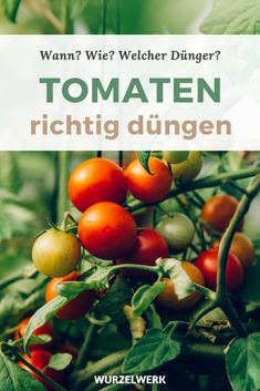 Tomaten richtig düngen – Wann, wie, mit welchen Düngern? - Wurzelwerk Hydroponic Gardening, Hydroponics, Gardening Tips, Hydrangea Seeds, Hydrangea Care, Best Chicken Coop, Chicken Feed, Real Plants, Growing Plants